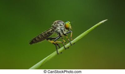 Video UltraHD - Asilidae robber fly sits on a blade of grass...