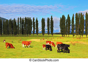 Orange and black cow - Rural idyll in Chile. Orange and...