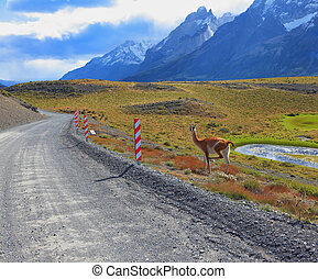 The guanaco - small camel - National Park Torres del Paine...