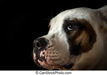 Guilty dog on a black background - Guilty dogo argentino on...