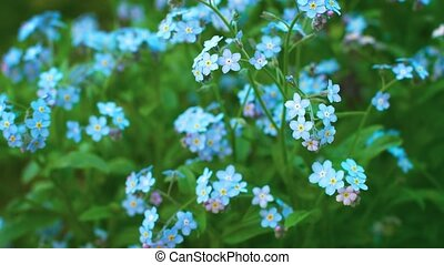 Myosotis blue flowers forget-me-nots close up - UHD video -...