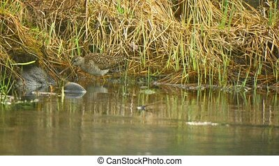 Pectoral sandpiper Calidris melanotos near the water - Video...