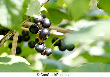 Blackcurrant - A hand holding some blackcurrants