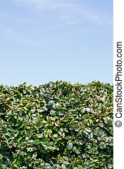 Hedge - A green hedge and a blue sky