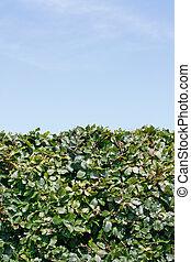Hedge - A green hedge and a blue sky