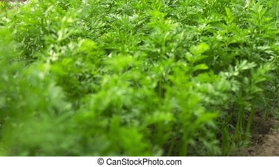 Tops of the vegetables Garden bed with carrots - UltraHD...