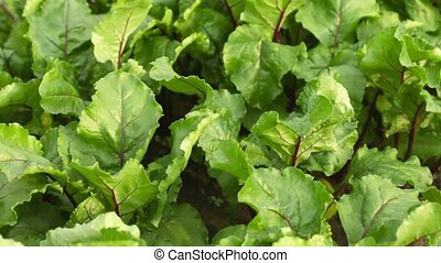 Beets in the garden - green leaves swaying in the wind -...