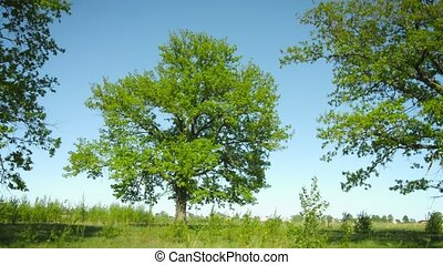 A group of old oak trees in the meadow. Summer rural landscape