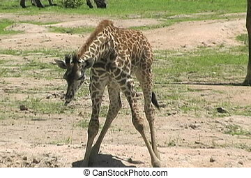 Baby giraffe learning to drink from a water hole
