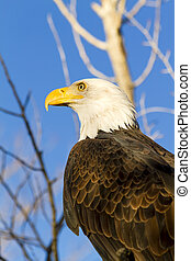 American Bald Eagle in Autumn Setting - American bald eagle...