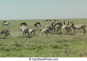 Zebra Herd in the Serengeti Tanzania Africa