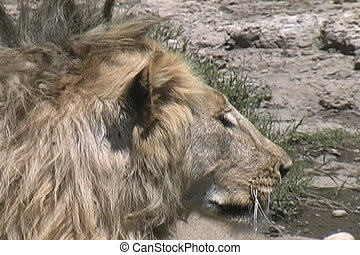 Lion resting in the heat of the day in the Serengeti...