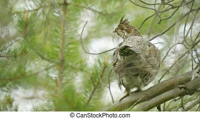 Hazel grouse hiding in the branches of a pine