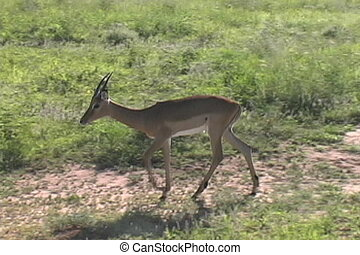 Lone Impala walks in the Tarangire National Park Tanzania...