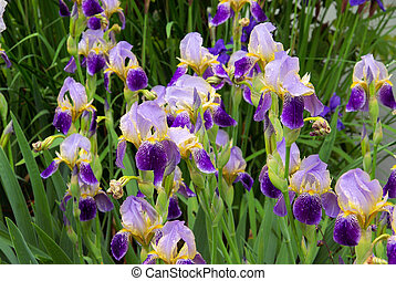 iris 40