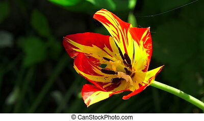 Red and yellow Tulip. 4K.