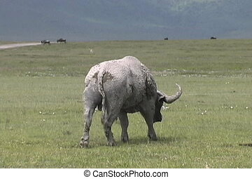 Cape Buffalo - Muddy Cape Buffalo walking away in the...