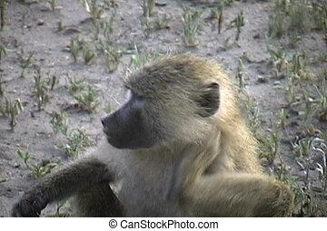 Baboon scratching in the Tarangire National Park Tanzania...