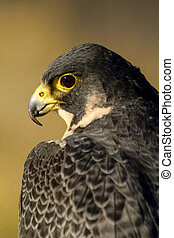 Peregrine Falcon in Autumn Setting - Peregrine Falcon...