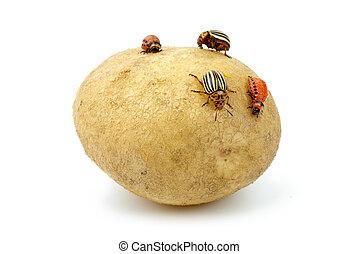 papa, infestado, Colorado, papa, escarabajos, grubs