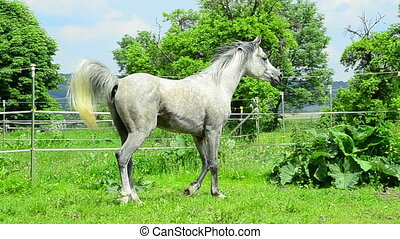 Asil Arabian stallion trotting and galloping at meadow on...