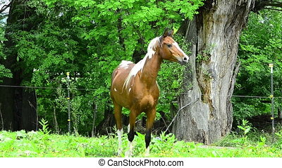 Pinto Arabian galloping on meadow - Pinto Arabian gelding...