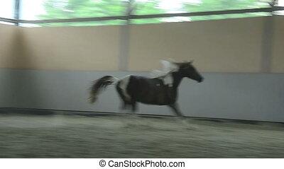 Pinto Arabian gelding trotting - Pinto Arabian gelding - two...