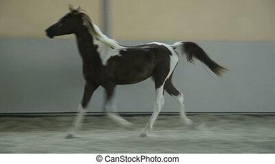 Pinto Arabian gelding galloping - Pinto Arabian gelding -...