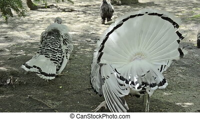 white turkey in mating season with female