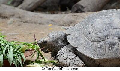 Turtle eating vegetable in zoo