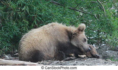 bear sleeping