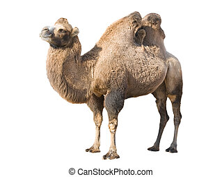 Standing camel - Profile of Bactrian camel isolated over...