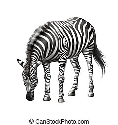 zebra bent down eating grass . Illustration isolated on...