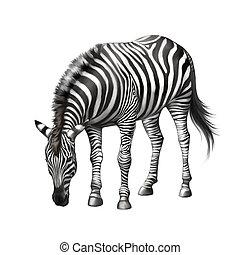 zebra bent down eating grass . Illustration isolated on...