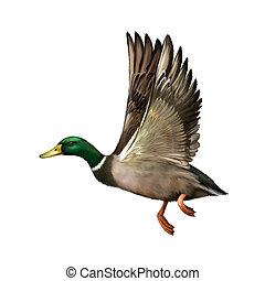 Mallard Drake In Flight, illustration isolated on white...