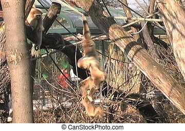 Gibbon Monkey - Lar gibbons are one of the pickiest eaters...