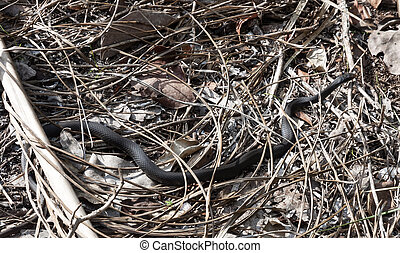 Black snake in Florida, USA