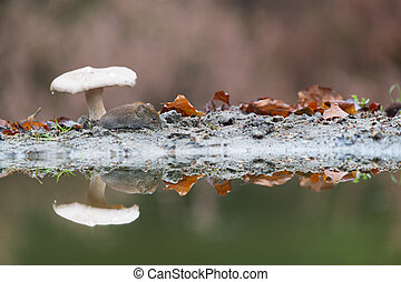Common vole in autumn - Common vole mouse under mushroom in...