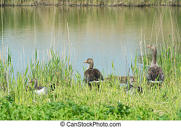 Greylag gooses in nature - Greylag gooses near natural water