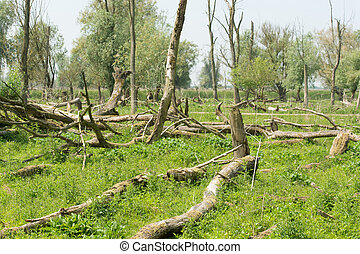 Bald eaten trees by deer in Dutch nature