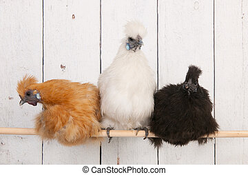 Silkies chickens in henhouse - silkies chickens in henhouse...
