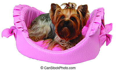 Dog on pink bed isolated on white