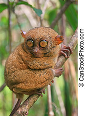 Tarsier sitting on a tree, Bohol island, Philippines,...