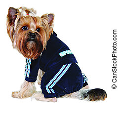 Dog in blue sport suit isolated on white