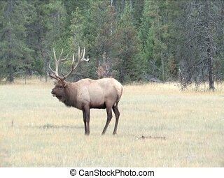 Bull Elk - Eight point bull Elk in rutting season