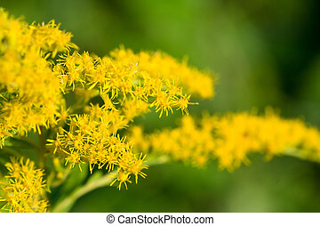 Goldenrod shot with selective focus on the small blooms