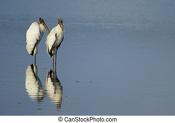 Wood storks reflected in water