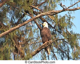 Bald Eagle flys away from tree