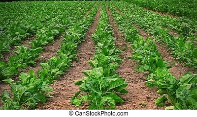 Field of red beet in rows