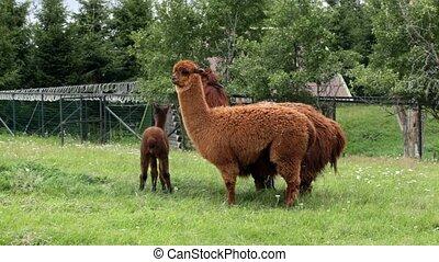 llamas grazing in meadow